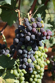 VEGETATION - CLUSTER OF GRAPES - ŽILAVKA AND BLATINA
